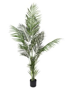 Acrea Palm in Plastic Pot 120cm - Green $72 @ April & Oak